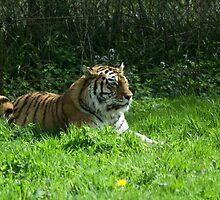 Springtime Tiger by DanCookePhotos