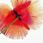 Poppy by itchingink