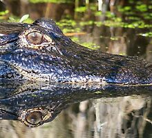 Gator reflections!! by jozi1
