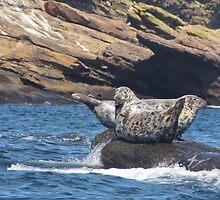 Grey Seals  by caybeach