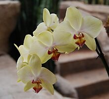 Yellow and Pink Orchid by spacenomads