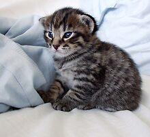 Portrait  of a Kitten - https://www.facebook.com/thestudiocats by Kim-maree Clark
