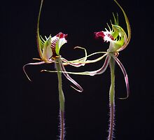 Dancing Spider Orchids - Arachnorchis tentaculata by Paul Piko