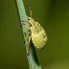 Common Green Shieldbug by Ashley Beolens