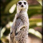 Meerkat by Emjay01