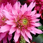 Pink Frilled Dahlia by AnnDixon