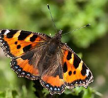 Small Tortoiseshell butterfly by Ashley Beolens