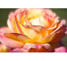 Rest in piece my friend - All Proceeds to Canadian Breast Cancer Foundation - Peace Roses Photographic Print