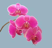Orchids Photo to Paint on Blue by NataliePaskell