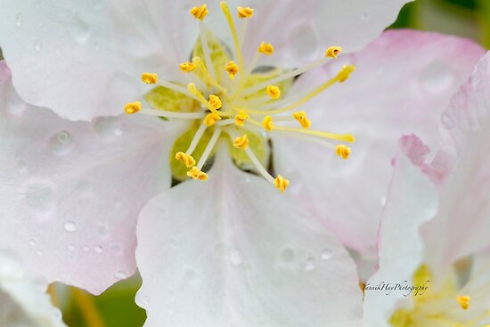 Apple Blossom Macro by Yannik Hay