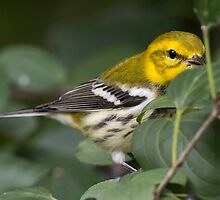Black throated green warbler by Chris Kiez
