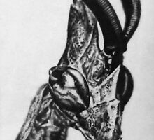 Mantis Nymph (graphite drawing) by Larry McFarland
