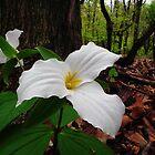 White Trillium by BonnieToll