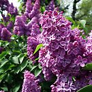 Lilac by BonnieToll