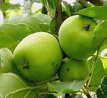 Granny Smith Apples by Sandra  Sengstock-Miller