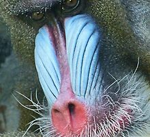 Colorful Male Mandrill by Margaret Saheed