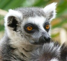 Thoughtful Ring-tailed Lemur by Margaret Saheed