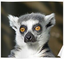 A Watchful Ring-tailed Lemur Poster