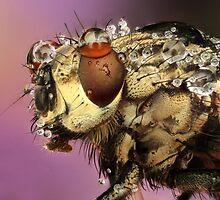 dewed fly by vasekk