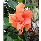 Polynesian Orange Hibiscus by schermer