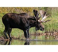 Splashing Moose Photographic Print