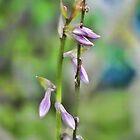 Hostas still in bloom by vigor