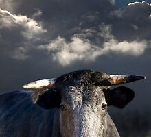 Bull before the Storm by Andrew Bret Wallis
