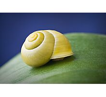 Snail with shell on leaf in detail Photographic Print
