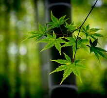 Japanese maple and bamboo by TTAN