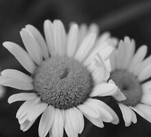 Daisy in Black and White by BerryvineImage