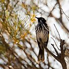 New Holland Honey-Eater  by Sandra Chung