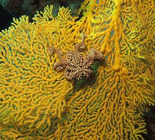 Basket star by atcooper