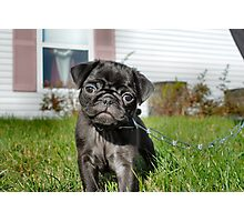 Black Pug Photographic Print