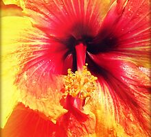 Hibiscus by Chris Andruskiewicz