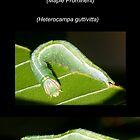 The Saddled Prominent Moth Caterpillar by DigitallyStill