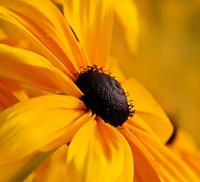 Yellow Black Eyed Susan Flower by Christina Rollo