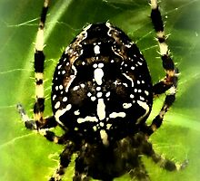 Cross Spider by ©The Creative  Minds