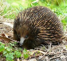 Echidna: The Australian Spiny Anteater by Fungiphile