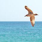 seagull in flight by Sara Sadler