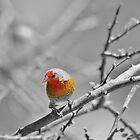 Melba Finch - Selective Coloring - Wildlife Colors of Gold and Red by LivingWild