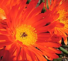 Spring Blooms of an Orange Ice Plant  by Marilyn Harris