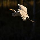 The Eastern Great Egret by Peter Doré