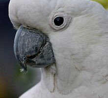 Sulphur Crested Cockatoo  by Angie66