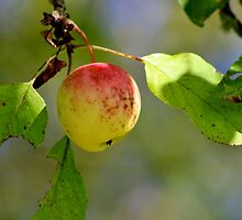 Wild Apple by Kathleen Daley