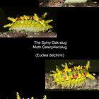 The Spiny Oak-slug by DigitallyStill