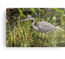 A Great Blue Heron fishing - Mud Lake, Ottawa, Canada Metal Print
