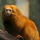 Golden Lion Tamarin (Leontopithecus rosalia) by Scott Mitchell