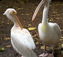 Pelicans by Ellesscee