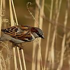 House Sparrow gathering nesting material by Kane Slater