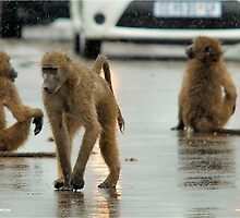 COME RAIN, COME SNOW, BABOONS ARE ALWAYS ON A SHOW! by Magaret Meintjes